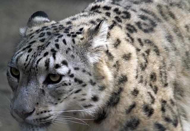 snow-leopard-70023_640