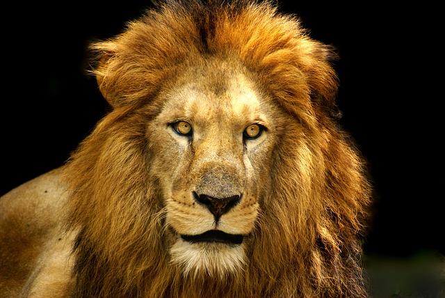 lion-687103_640